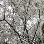 大阪の桜1
